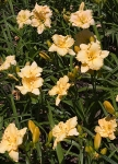Daylily-Beds-Golden-Glow.jpg
