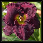 Daylily-Starless-Night-355.jpg